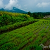 Young Rice Paddy