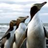 Hoiho Penguin