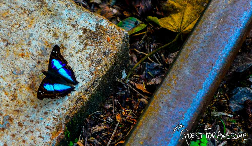 Turquoise Emperor - Iguazu Falls Butterfly