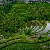 Tegallalang Rice Paddies