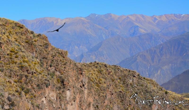 Andean Condor At El Cruz Del Condor, Peru