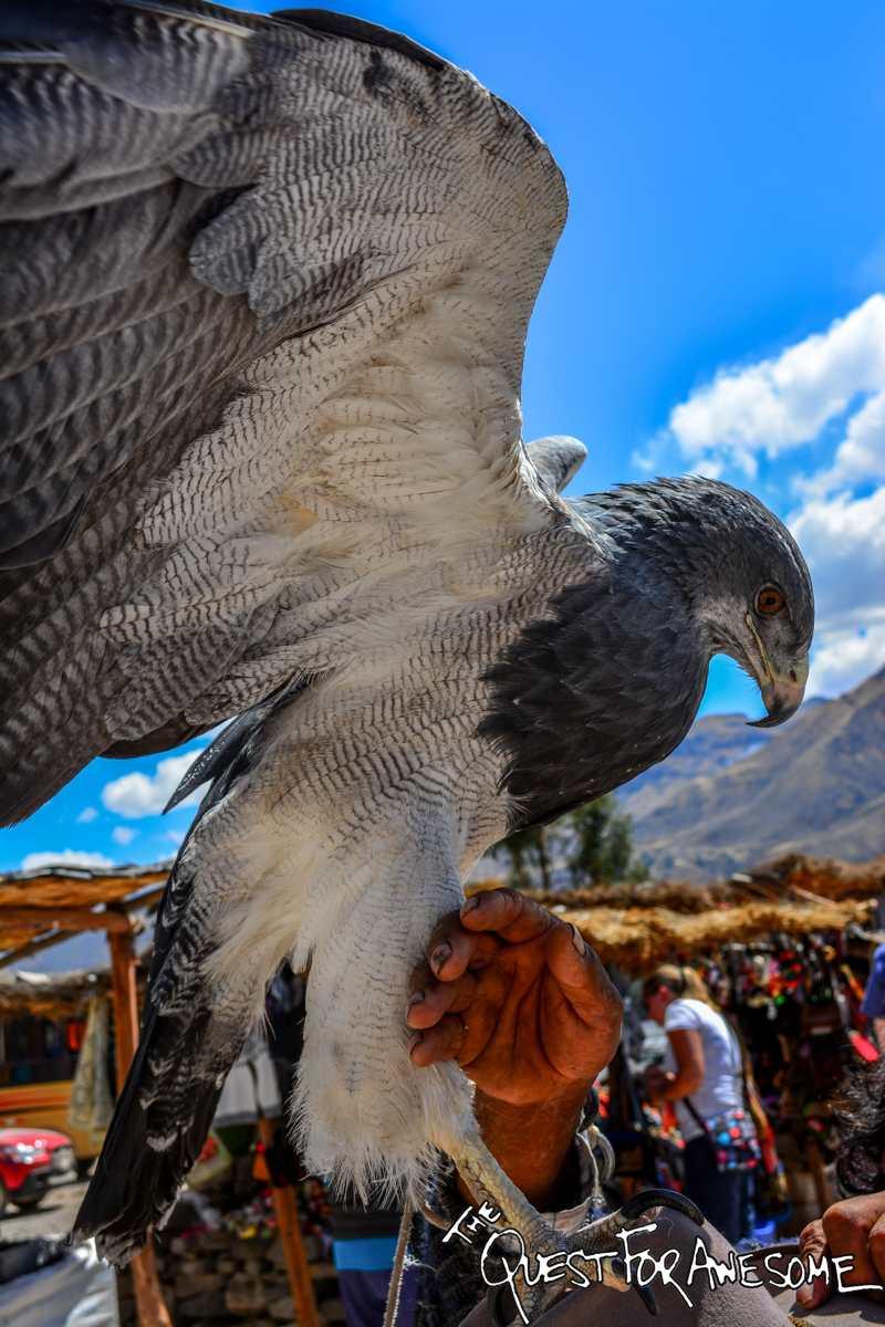A Hawk In Colca Canyon, Peru